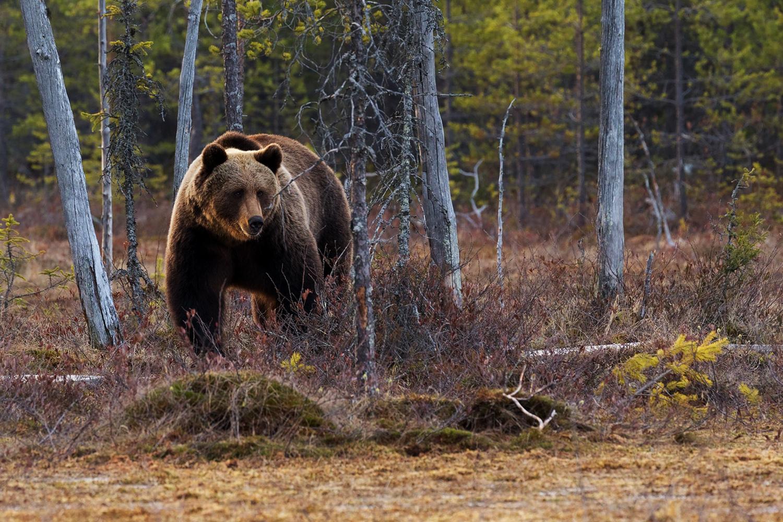 Ontario Black Bear Hunts